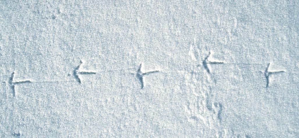 Fasaanin Jälki